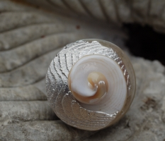 Schneckenspiral-Ring